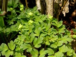 Moschatel, Townhall Clock (Adoxa moschatellina)
